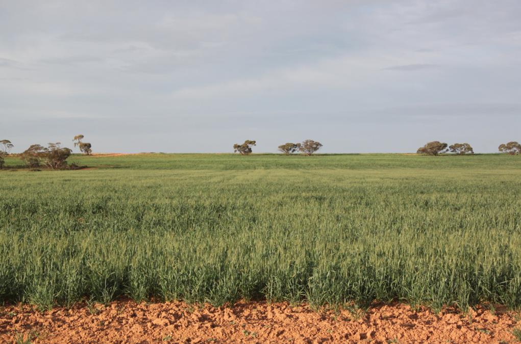 Wheat in Head June 14