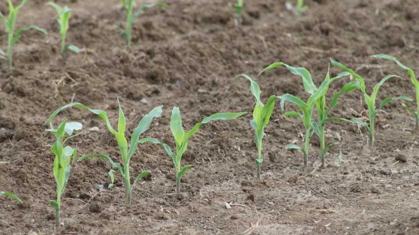 Young-corn-plants-in-soil
